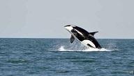 الحوت الابيض والاسود