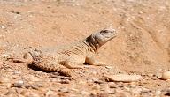 زواحف الصحراء