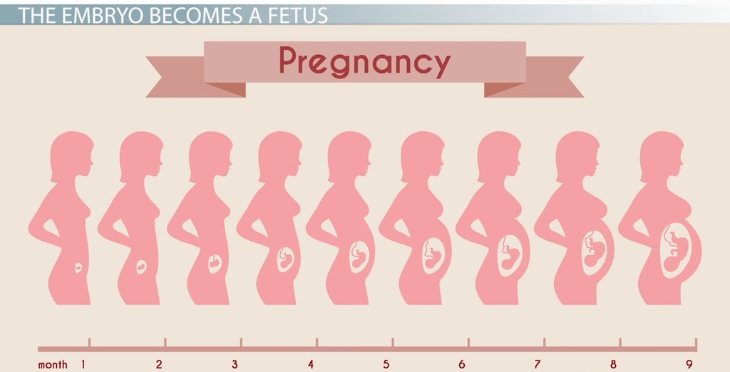 مراحل الحمل بالتفصيل