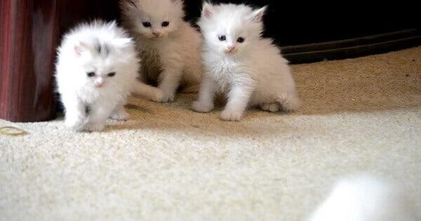 تربية القطط الصغيرة شهرين