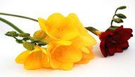 اسماء انواع الورد