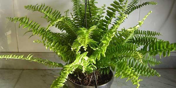 اسماء النباتات المنزلية بالصور