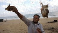 طريقة صيد الطيور بالشبكة