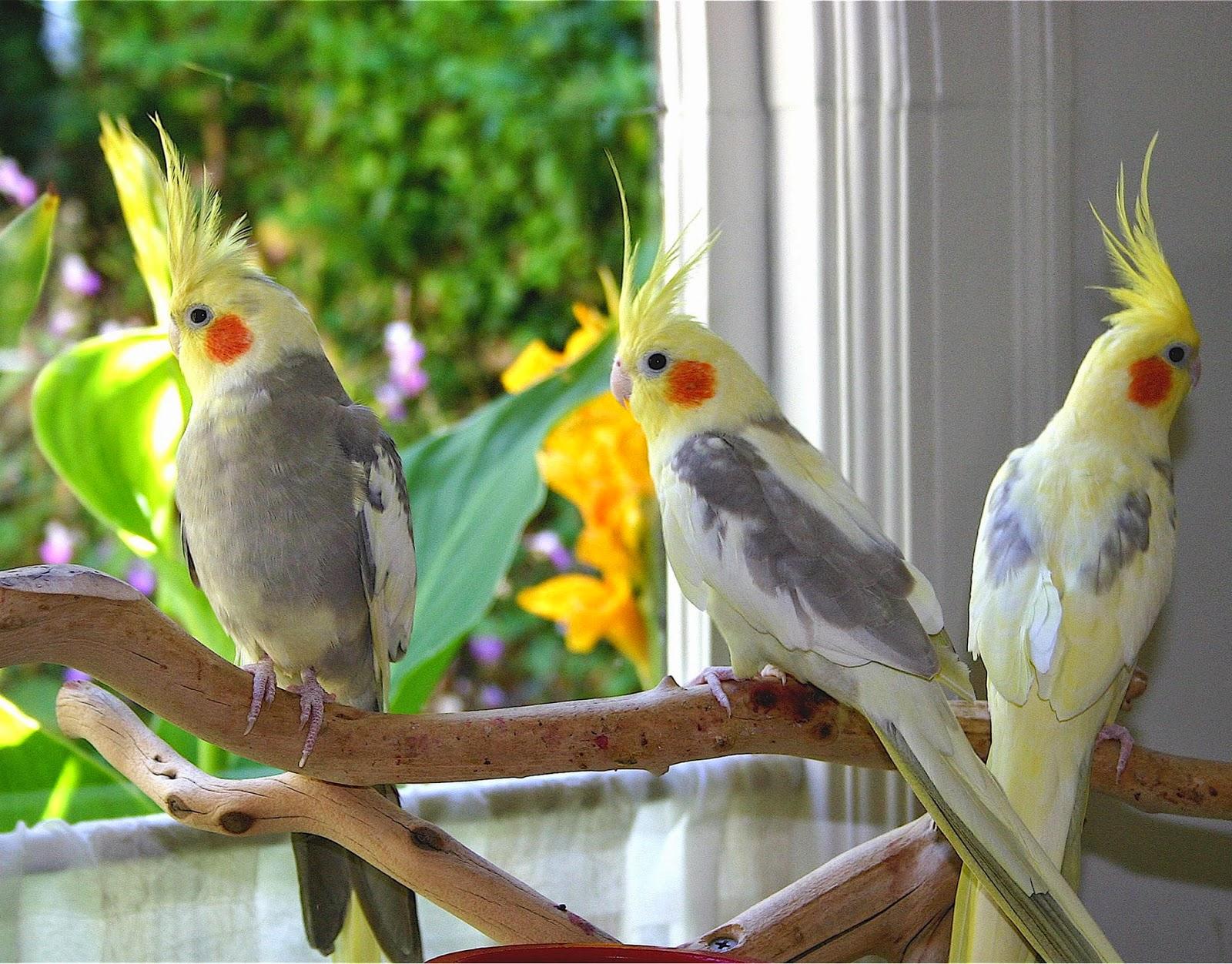 فوائد تربية الطيور في المنزل