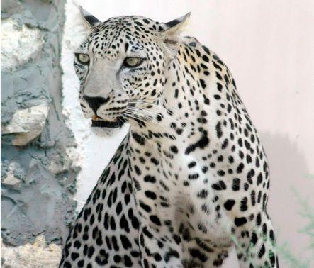 الحيوانات المهددة بالانقراض في المملكة مفهرس