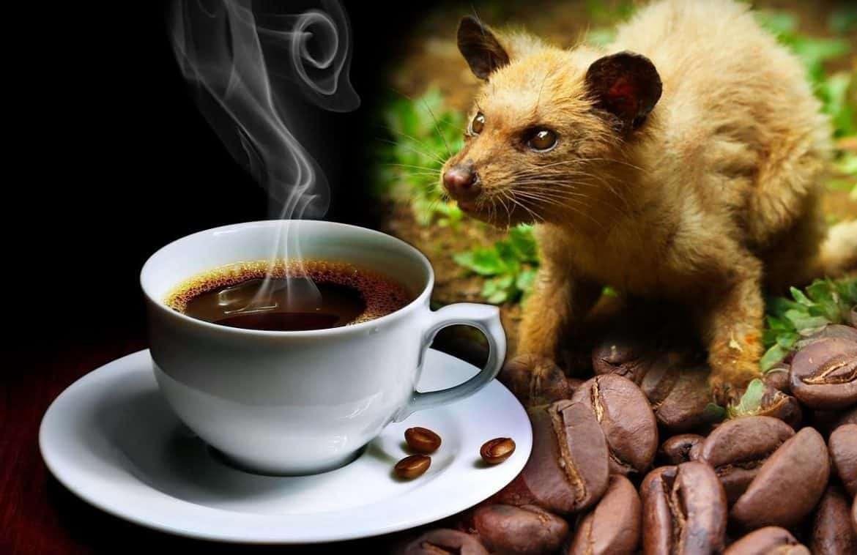حكم شرب قهوة كوبي لواك - مفهرس
