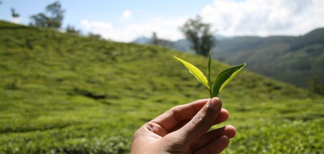قصة اكتشاف الشاي