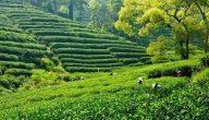 ماهي أولى دول العالم في إنتاج الشاي