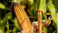 زراعة الذرة