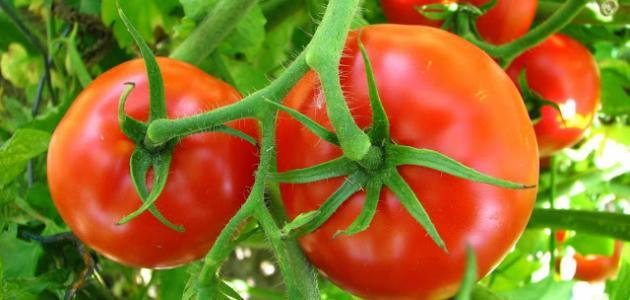 مراحل نمو نبات الطماطم بالصور