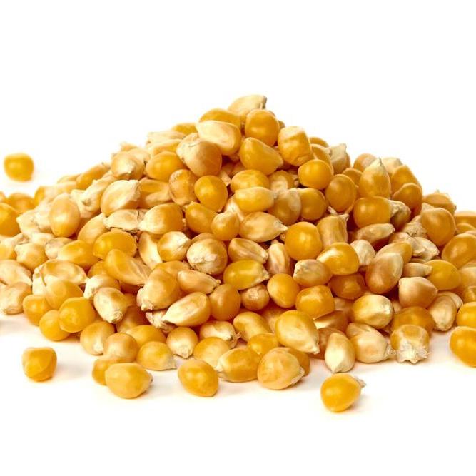 فوائد الذرة الصفراء للمواشي