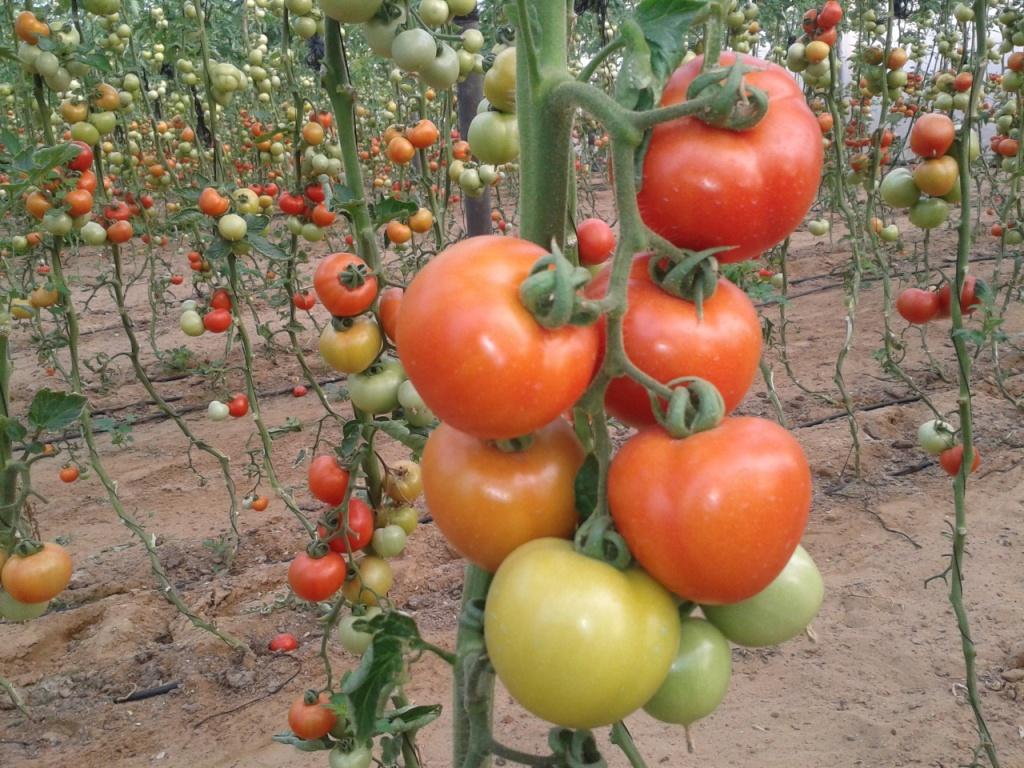 أسرار زراعة الطماطم