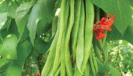 زراعة الفاصوليا المتسلقة