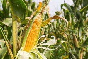 تعرف عن أنواع الذرة بالصور 66h_600x400-300x200