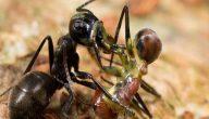 معلومات عن حياة النمل