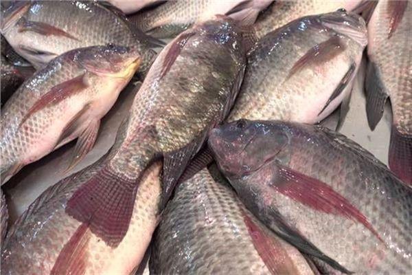 أنواع السمك البلطي بالصور