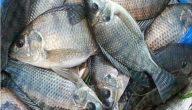 فوائد السمك البلطي للشعر