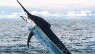 سمكة البلو مارين