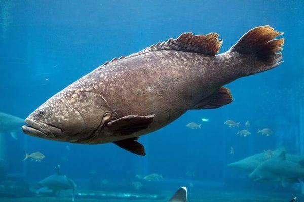 أنواع سمك الهامور بالصور