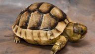 افضل أنواع السلاحف للتربية المنزلية