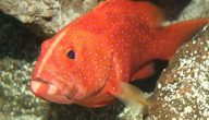 أضرار سمك الهامور