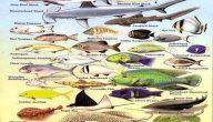 أنواع سمك البحر الأحمر بالصور