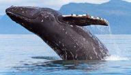 أنواع الحيتان في البحر الأحمر
