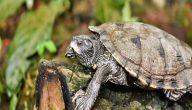 أنواع السلاحف المفترسة